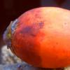 槟榔中发现的化合物具有抗癌潜力