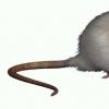 β-胡萝卜素 番茄红素可预防小鼠模型中的皮炎