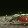 蚊子的疟疾免疫保护是一项双重性研究