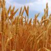 细菌如何引发全球第五大粮食作物抵抗致命的真菌