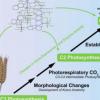 模拟C4光合作用的进化发展