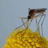 蚊子具有奇异且对生态重要的隐性生命