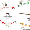 研究人员利用基因组学发现潜在的寄生虫病新疗法