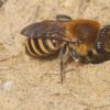 研究揭示了被忽视的蜂种