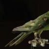DNA测序揭示卡罗来纳州长尾小鹦鹉灭绝是由人为原因驱动的
