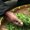 绿茶植物中的化合物显示出抗击结核病的潜力