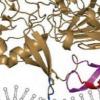 科学家揭示寨卡病毒如何复制