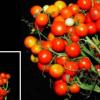 适用于城市花园甚至外太空的新型番茄