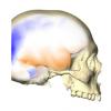 人脑的左侧和右侧专门用于某些认知能力