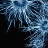 研究发现 致病重复有助于人类神经元功能