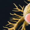新发现的免疫细胞类型可能是改善胰腺癌免疫疗法的关键