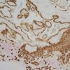 MicroRNA调节妊娠早期胎盘生长至关重要的过程