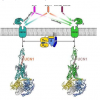 促肾上腺皮质激素释放因子受体的结构和功能研究