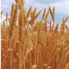 遗传多样性提高了杂交作物品种的产量