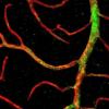 显示原始干细胞可再生眼睛中的血管