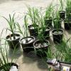 水稻品种的光合作用差异很大自然多样性可以提高产量