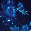 免疫系统中的某些细胞例如T淋巴细胞能够攻击癌细胞