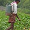 长期分析表明转基因棉花在印度无法与昆虫相提并论