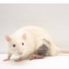微粒模仿癌症的逃避策略显示出移植排斥的希望