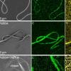 生物物理学家将不相容的成分混合到一根纳米纤维中