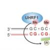 阐明协调细胞记忆遗传与DNA复制的机制