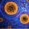 先锋蛋白如何将干细胞转变为器官