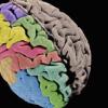 共同努力产生的第一张大脑皮层遗传图谱
