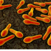 研究估计致命的艰难梭菌感染传播