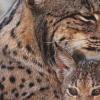 保存睾丸细胞以拯救濒临灭绝的猫科动物