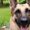 首批完整的德国牧羊犬DNA提供了抗击疾病的新工具