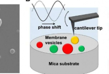 原子力显微镜显示细菌膜囊泡中的高度异质性