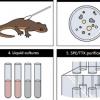有毒new的皮肤微生物组促进适应性河豚毒素的产生