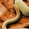 研究发现真菌的使用可以阻止主要的大豆害虫