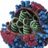 细胞因子有助于包装流感基因组