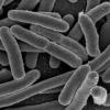 研究人员发现一种新型的HIT防御细菌可以对抗抗生素