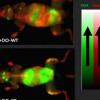 小鼠研究显示伴侣蛋白可预防自身免疫性疾病