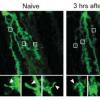 压力激素去甲肾上腺素会抑制通常产生蛋白质GluA1的分子途径