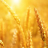 鉴定出有助于小麦遗传改良的参考基因