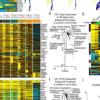 在单细胞环境中发现遗传连锁反应