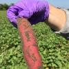 红薯微生物组研究是提高产量的重要第一步