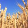 正在开发的低过敏原小麦品种为对小麦敏感的小麦带来了好消息