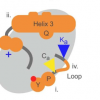 决定蛋白质是否变为活性酶或铁支架的突变