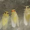 粉虱害虫的基因编辑协议为控制打开了大