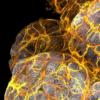 在乳腺导管中发现的新型免疫细胞