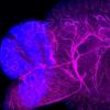 新的染色技术可视化整个器官和身体