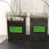 科学家利用细菌帮助植物在盐渍土中生长
