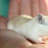免疫调节药物可改善小鼠牙龈疾病