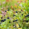 更多的浆果 苹果和茶可能对老年痴呆症有保护作用
