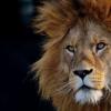 狮子的新遗传学研究可能有助于防止它们灭绝