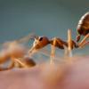 发现左右脑半球在蚂蚁中的记忆方式不同